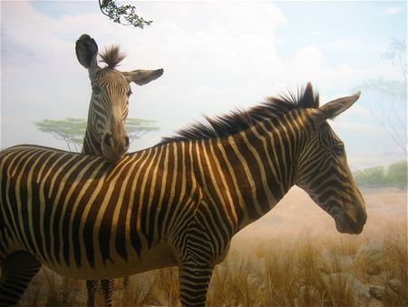 Stuffed zebras