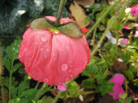 Wet poppy orig+
