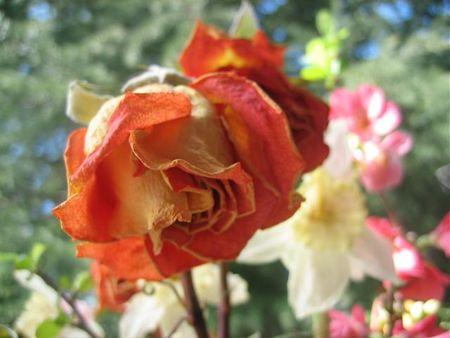 Dried orange rose