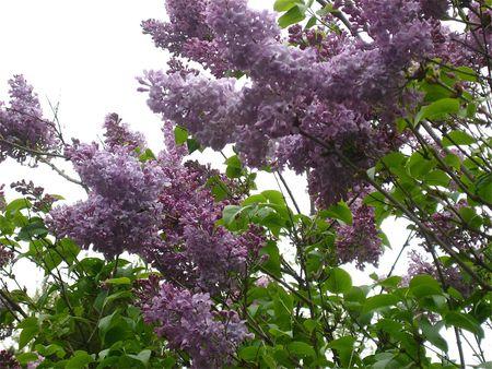 Lilacs in my yard