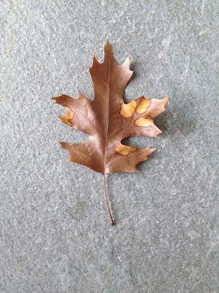 Perfectly aging leaf 11x15