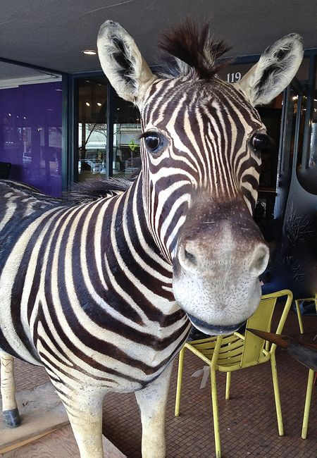 Zebra face 12x17