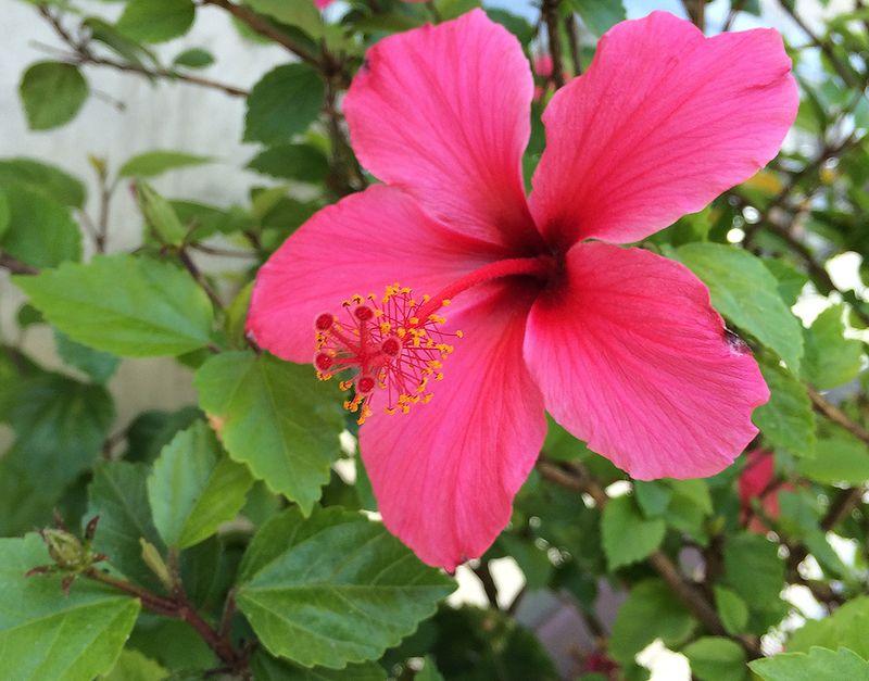 Hibiscus 16x12.5 422kb