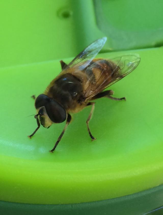 Bee fly 1 8.8x11.7