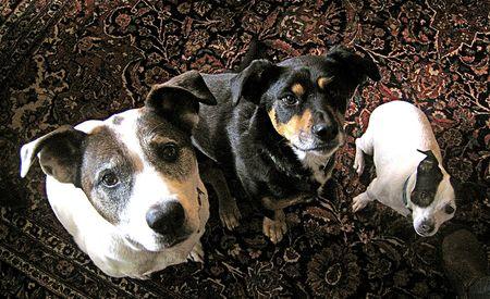 3 doggies 15x9