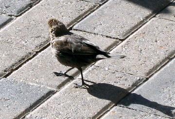 Stalkingbirds