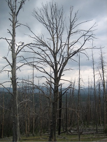 Burnedtrees