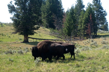 Bigbuffalo