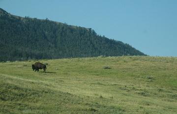 Buffaloscene