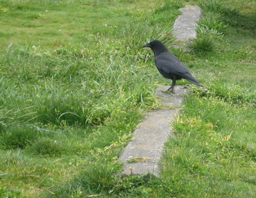 Crow_near_the_beach