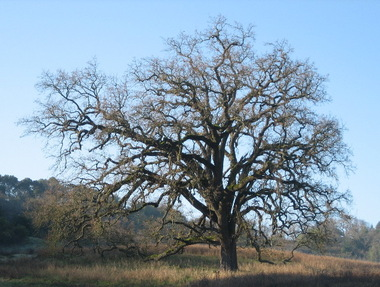Oldtree